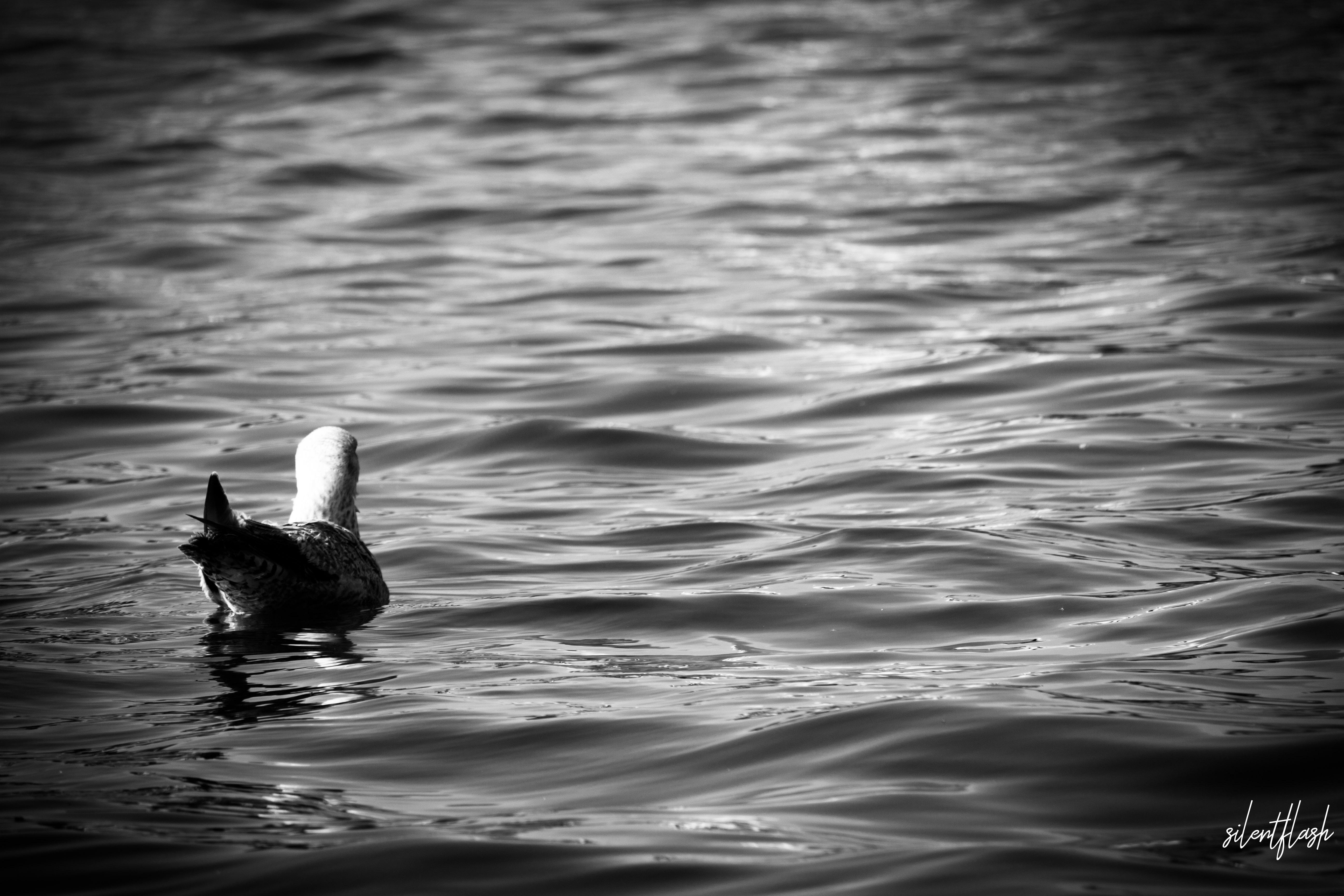 Die farblose Ente